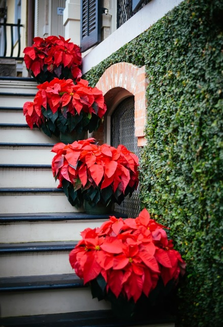 Red Poinsettias leading up to entryway for Christmas.